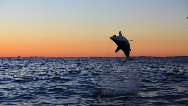 Gamefishers play tag with mako sharks off Sydney